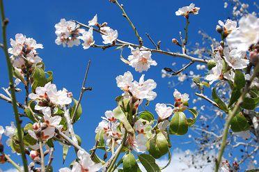 almond-blossom-izrael.jpg